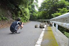 Yakushima Monkeys' Favourite Hangout (3) (Electra K. Vasileiadou) Tags: nature animals japan monkey nikon kagoshima unescoworldheritagesite  yakushima primate  kyushu macaque     18200mm   d7000