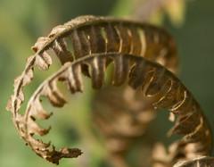 Garoa (Lanzen) Tags: autumn fern macro nature forest euskalherria hst helechos pteridophyta ormbunke aarbe udazken