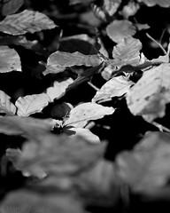 Autumn view (martinantal) Tags: autumn bw devon leafs carlzeiss variosonnar1680
