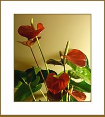 _DSC7252   Anthuriums (Martina Morris ( Ireland) Thanks for your visit) Tags: pink ireland red orange plants flower macro nature houseplant salmon images boyle paleyellow flowerscloseup anthuriums 5252 coroscommon boylecameraclub martinamorris