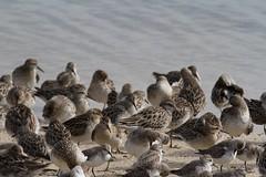 Waders2 (Matt Scott Wildlife Photography) Tags: bird beach birds australia knot elements queensland cairns waders