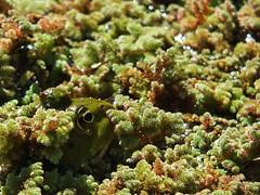 Bochum Bot.-Garten (R.S. aus W.) Tags: outdoor natur frog marsh universität rana bochum teich eurasian rub ridibundus amphibien wasserfrosch seefrosch pelophylax ridibunda anuren