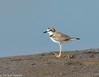 Collared Plover (hogsas) Tags: peru plover collared shorebirds shorebird tumbes collaredplover charadriuscollaris peruvianimages peruvianbirds bocapan