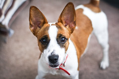 Candy (Julia Rose Photography) Tags: jack mutt corgi russell kong jackrussell jackrussellterrier rescuedog