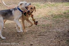 Tucker & Abel (Derek Lee Ogburn) Tags: dog yellow goldenretriever husky labrador playtime germanshepherd tugowar