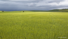 En un lugar de Palencia..... (PITUSA 2) Tags: españa naturaleza verde paisaje cielo nubes pitusa campos trigo palencia castillayleón elsabusto entrepalenzuelayalardelrey