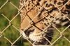 Food Coma (Chicago John) Tags: world park cats oregon great junction cave jaguar greatcatsworldpark cavejnction