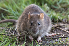 Wild Brown Rat (James.Brown.Photography) Tags: bridge wild brown nature photography james photo rat leicestershire sony leicester reserve alpha kelham ratus norvegicus