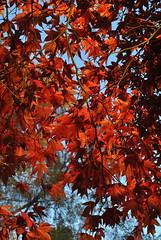 Dunorlan Park (hippyczich) Tags: park autumn sunlight nature leaves maple wells acer tunbridge palmatum dunorlan