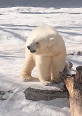 Posing Kali (Jay Costello) Tags: bear white ny newyork animal mammal zoo buffalo kali arctic polarbear buffalozoo