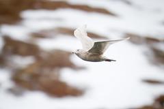 Glaucous Gull - Larus hyperboreus (L.Mikonranta) Tags: bird nature birds norway canon eos is gull 300mm 7d l usm f28 ef larus norja vard glaucous hyperboreus varanger canonef300mmf28lisusm hornya canoneos7d isolokki copyrightlm larhyp