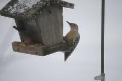 Red-bellied Woodpecker (eyriel) Tags: winter food snow cold bird nature birds wildlife junco birdfeeder feeder sharing