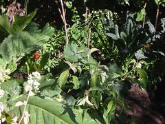 gardenbrassicas_4959023012_l