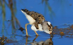 Three-banded Plover (Charadrius tricollaris) Chick (Ian N. White) Tags: chick botswana threebandedplover charadriustricollaris notwane