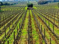 Guado al Tasso 3 (explored) (lotti roberto) Tags: bolgheri toscana tuscany vineyards vigneti fav25 fav50 fav75 fav100 fav125 fav150 fav175 fav200