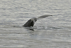 Wilhelmina Bay Whales, Antarctica 2014 (Easy Traveler) Tags: antarctica whales wilhelminabay