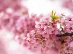 Happy Spring Day! (Apricot Cafe) Tags: pink japan tokyo shibuya tokyo東京 shinjukugyoen新宿御苑 sigma35mmf14dghsm shuzenjikanzakura修善寺寒桜 prunus×kanzakura'rubescens' earlybloomedcherryblossom img61307
