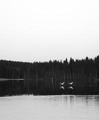 (joonas.ahonen) Tags: bw lake bird suomi finland swan calm x20 lintu järvi joutsen varkaus tyyni fujix20