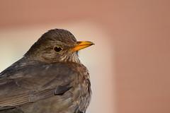 Merel / Common blackbird / Turdus merula (heidiii78) Tags: vogels