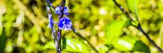 Enlivening (Ruben Peyra) Tags: blue plant flower green leaves nikon philippines albay 55200mm d7000