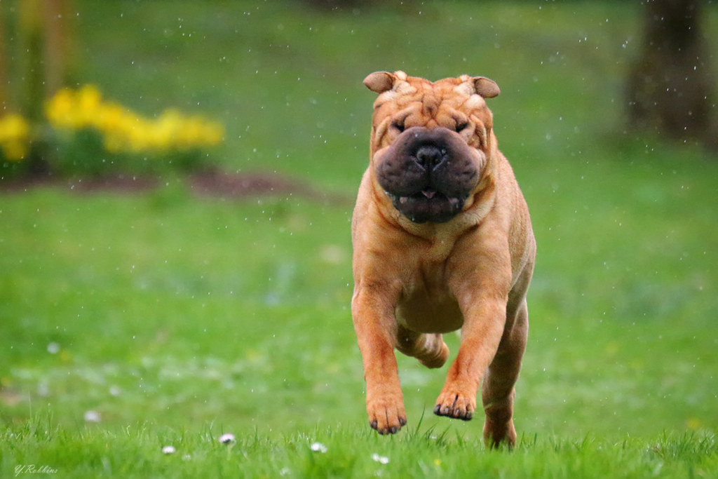 The Worlds Best Photos of funny and sharpei  Flickr Hive Mi # Sunshower Dog_004942