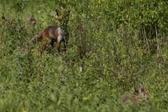 Red Fox watching rabbits. (clicka13) Tags: red wild rabbit nature canon mammal photography outdoor wildlife north fox rabbits mammals tyneside hedgerow