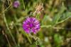 Série Fleur 2015 - 5 (Macsous) Tags: alpes lyon fleur fleurs flower flowers gazon herbe herbes japonais jardin jaune mauvaise rhone solaize tige verdoyant vert