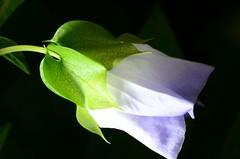 DSC_0920 - flor silvestre (JR1994) Tags: flower brasil flor araxá 2015 fineartphotos jr1994 d7000