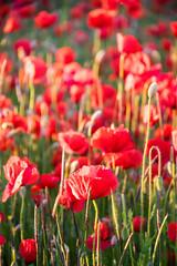 Poppies (Infomastern) Tags: red flower field poppy blomma röd geolocation vallmo fält camera:make=canon exif:make=canon skateholm exif:lens=efs18200mmf3556is exif:focallength=145mm exif:aperture=ƒ56 exif:isospeed=1000 camera:model=canoneos760d exif:model=canoneos760d