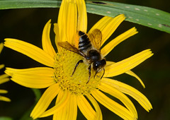 Leafcutter bee on yellow (Tam & Sam) Tags: summer flower macro yellow by garden insect nikon august tam arthropod 2015 leafcutterbee