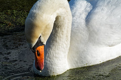 Drop (Alfred Grupstra) Tags: swan drop water wervershoof noordholland nederland nl bird nature animal lake wildlife white pond feather outdoors beak waterbird beautyinnature muteswan animalsinthewild river swimminganimal animalneck