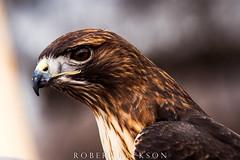 Red-tailed Hawk Portrait II (ogre1550) Tags: robertjackson blacklandprairieraptorcenter d750 nikon closeup redtailedhawk texas outside ogre1550 photography blackland nikon200500 color wildlife nikond750 nature