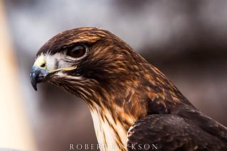 Red-tailed Hawk Portrait II