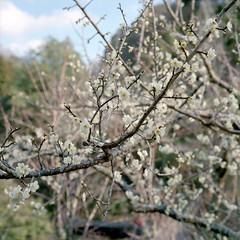 Plum blossom 3 (mitsumine_884) Tags: rolleiflex35fplanar rollei rolleiflex toyota 豊田 aichi 愛知 japan 日本 fuji fujifilm fujicolor pro400h