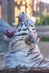 Kara ♀ - Long Day (Belteshazzar (AKA Harimau Kayu)) Tags: kara tiger zoo animal bigcat bigcats feline bengaltiger pantheratigristigris königstiger indischertiger eltigredebengala tigredubengale latigrerealedelbengala бенгальскийтигр 孟加拉虎 whitetiger weisertiger tigreblanco tigreblancroyal белыйтигр 孟加拉白虎 zooshot tobu tobuzoo snowwhite mirrormirror mutti mutter muttivonvierkindern frühlingserwachen springawakening monday