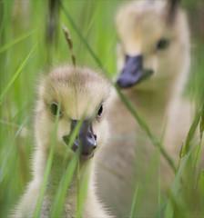 Hide & Seek (Gary Stamp cPAGB) Tags: london nature canon wildlife barnes wwt