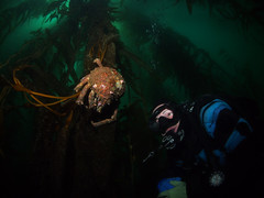 Sleeping in the Forest (NirupamNigam) Tags: underwater wideangle kelp scubadiving southerncalifornia anacapa kelpforest scubadiver sheepcrab californiadiving northernchannelislands