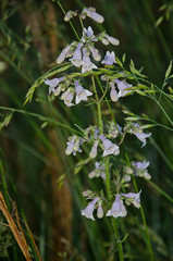 Penstemon canescens, eastern gray beardtongue (scadwell) Tags: botanical