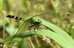 Female Eastern Pondhawk Dragonfly (jwinfred) Tags: life wild macro nature mississippi lens nikon dragonflies may sigma insects delta swamp cypress mm 300 preserve greenville f4 d7000