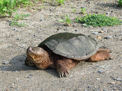 Common Snapping Turtle (John Heinz NWR) (stinkenroboter) Tags: johnheinznationalwildliferefuge commonsnappingturtle chelydraserpentina