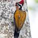 Hathikhira Birds-637 - Chrysocolaptes lucidus