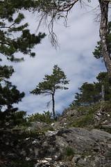 le pin (bulbocode909) Tags: nature suisse pins arbres valais montagnes