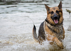 Branko Swims 2013-06-07-4 (falon_167) Tags: dog shepherd german gsd germanshepherddog branko