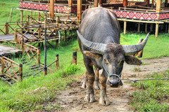 Kerbau Pudu | Tana Toraja