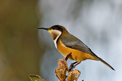 Eastern-Spinebill_13-06-18_7-crop
