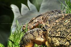 Monitor-Lizard-from-Lumphini-Park-Bangkok-Thailand (Captain Kimo) Tags: thailand reptile bangkok lizard highdynamicrange topaz monitorlizard lumphinipark tonemapped photomatixpro hdrimage hdrphotography singleexposurehdr captainkimo