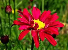 rote Margerite (fleckchen) Tags: flowers rot natur wiese blumen gelb blooms grn garten blten margerite margeriten roteblten
