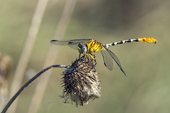 eastern ringtail (robert salinas) Tags: dragonflies sigma odonata a57 hornsbybend