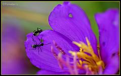 Rivals (VERODAR) Tags: flower nature ant sarawak borneo ants kuching rivals blackant rival verodar veronicasridar