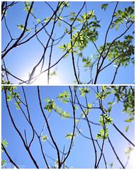Elderberry Shoots (.:Bambi:.) Tags: trees nikon diptych afs sunflare testshots elderberry newshoots 18g 35mmafs18g nikond3100
